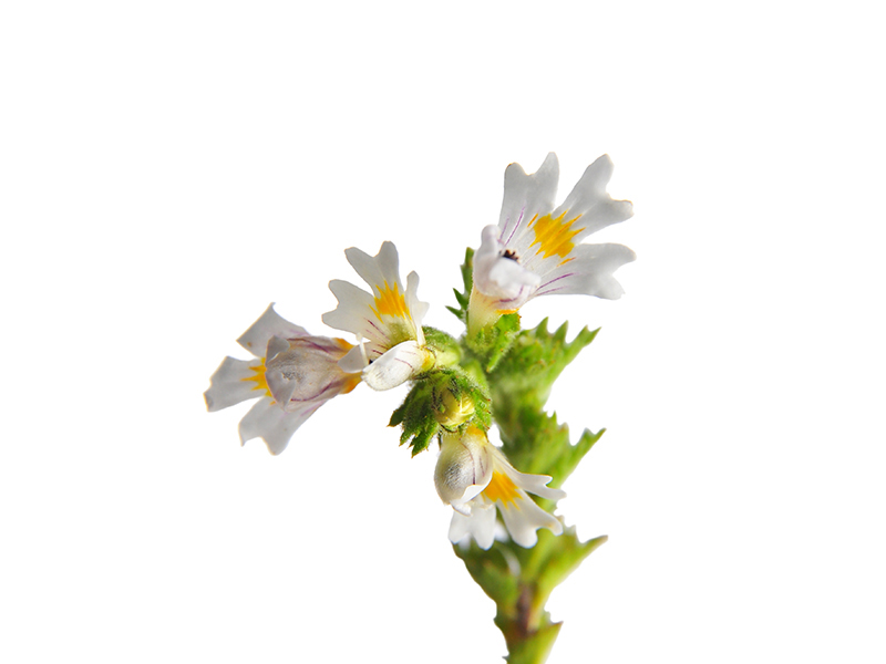Eyebright (botanical name: Euphrasia officinalis)